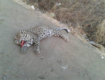 leopard death accident mundhegao igatpuri nashik, वाहनाच्या धडकेत बिबट्याचा मृत्यू, नाशिक, मुंढेगाव, इगतपुरी,